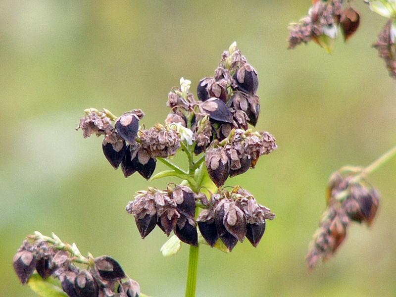 Risultati immagini per grano saraceno pianta